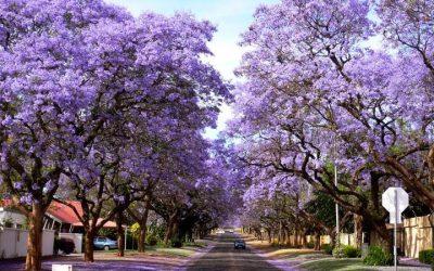 Безброй кашпи с лилави цветове