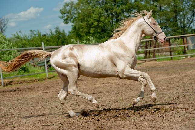 "The ""golden"" horse of the desert - Ahal-Teke"