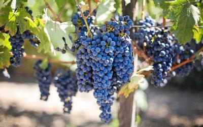 Trifon Zarezan - the king of the vineyards
